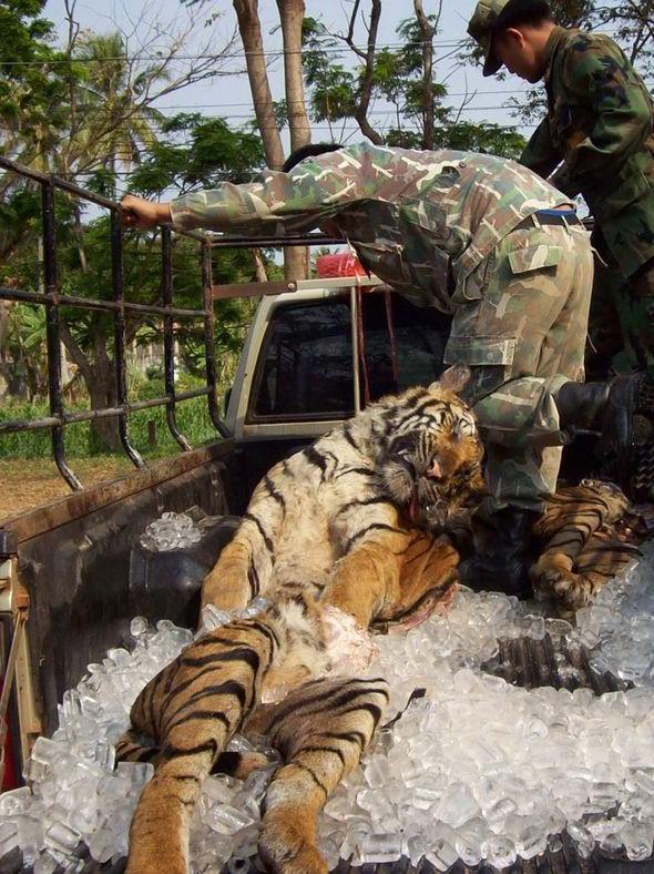 Ban Tiger Trade