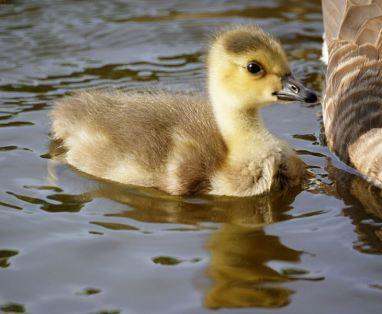 730px-baby_goose_canada_gosling_4591174999