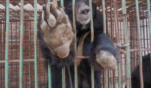 Halong Bay Bears