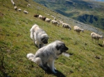 Dog_sheeps