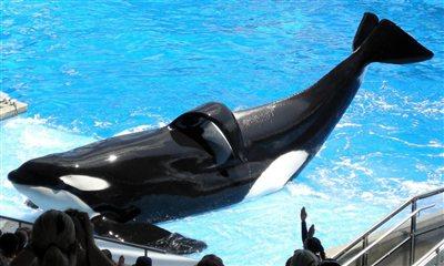 3286_tilikum-seaworld-whale_jpg-400x0.jpg