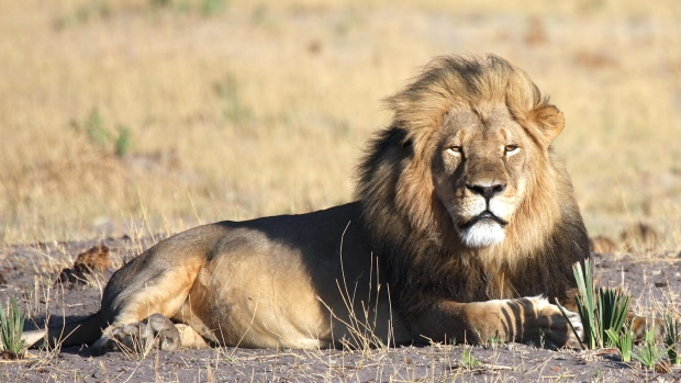 cecil-the-lion-cecil-the-lion