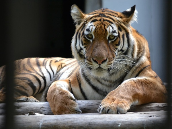 tiger-pixabay