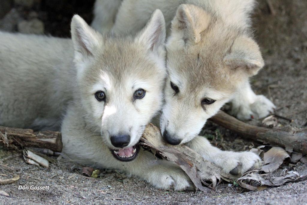 Wolfs_D_Gossett