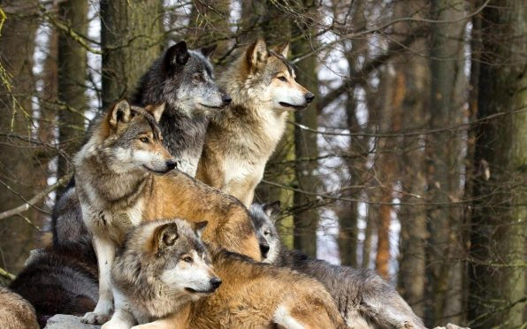 Pack-of-wolves