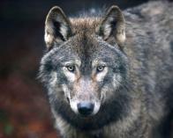 wolf-getty
