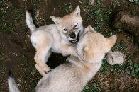 Wolfpups1