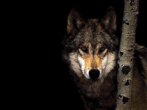 c_Jiajia_Flickr_Wolf