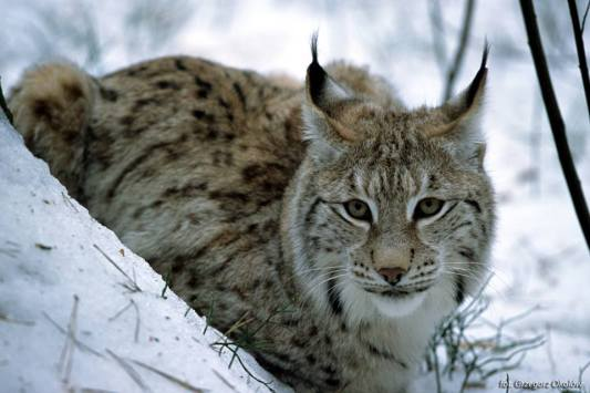 lince_polonia