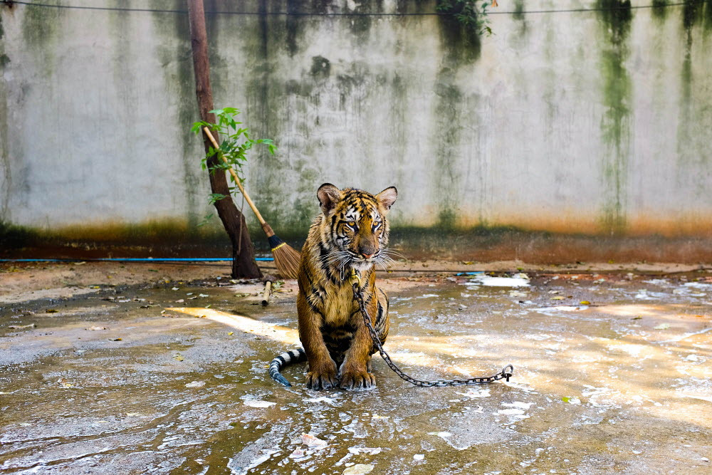 enchained tiger