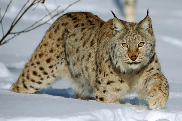 eurasian-lynx-in-snow-willi-rolfes