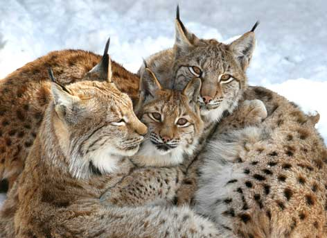 Lince_ORF