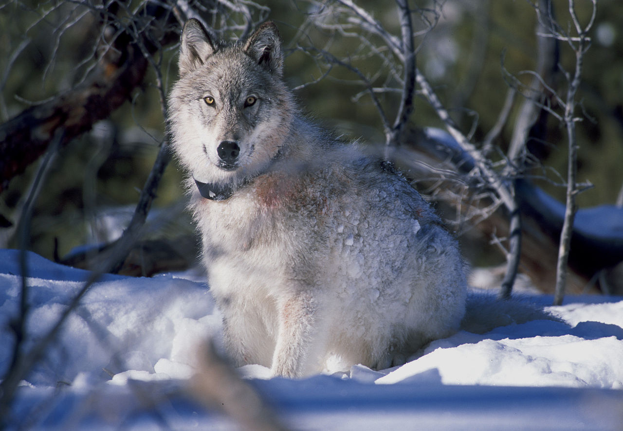 Canis_lupus_with_radio_collar_wikipedia