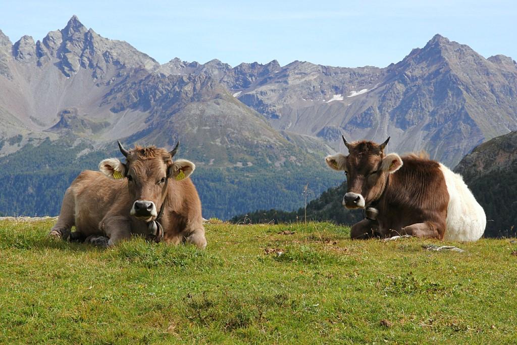 mucche_(c)ilbernina