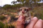 western-pygmy-possum-australia